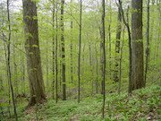Diverse age classes in a beech-birch-maple forest. Photo credit: Anthony W. D'Amato