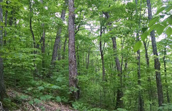 Beech-birch-maple forest. Photo credit: Anthony W. D'Amato