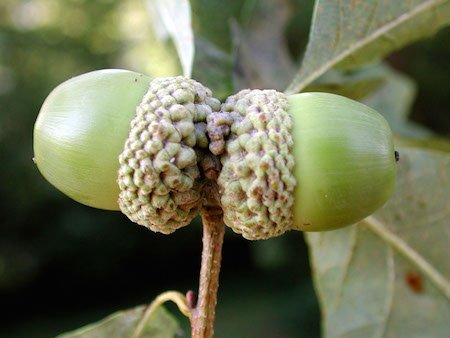 White oak acorns. Photo credit: Emily S. Huff